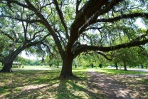 live oak trees, New Orleans