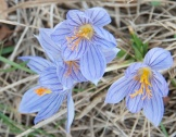 crocus - a sure sign that winter's coming