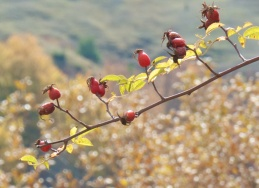 alıç, which translates as hawthorn