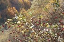 an alıç bush