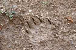 bear prints - oh my!!!