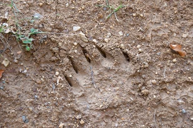 bear prints - oh my!!!