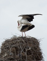any idea what these storks are doing?