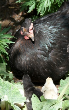 this hen and her chicks were under a shady tree on the street